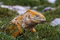 GalapagosSafari Lizard