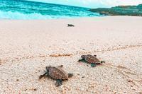 SandcastleVilla Beach Turtle Hatching37